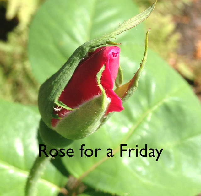 Rose for a Friday