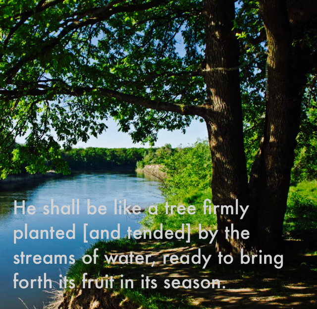He shall be like a tree firmly planted [and tended] by the streams of water, ready to bring forth its fruit in its season.